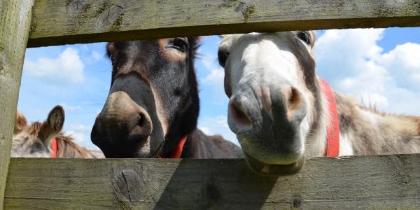 Sidmouth Donkey Sanuary_6